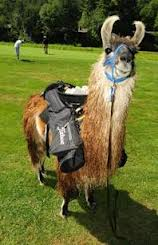 Llama Caddy on Sherwood Forest Golf Course