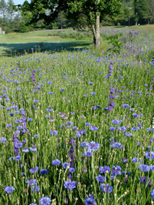 Wildflowers on Sherwood Forest Golf Course