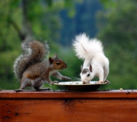White and Gray Squirrels